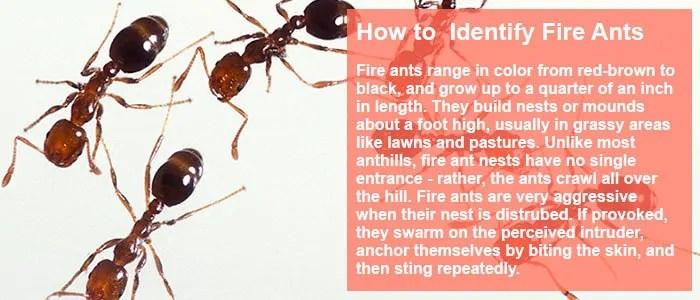 Fire ants identifying