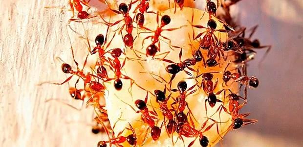 Pharaon ants terrain
