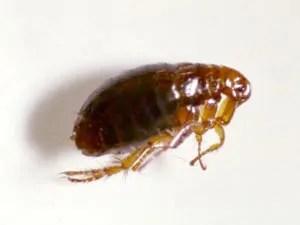 Fleas: small bugs