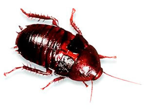 Florida woods cockroach identification and elimination tips