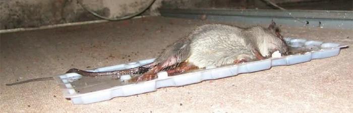 Glue board rat trap