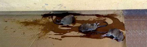 Glue trap in use