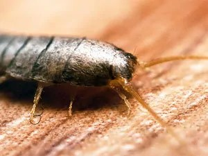 How to Kill Silverfish Bugs: Effective Measures, Baits and Traps