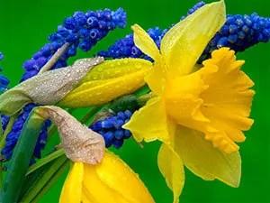 Hyacinth and daffodils
