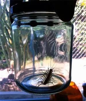 Centipede in jar
