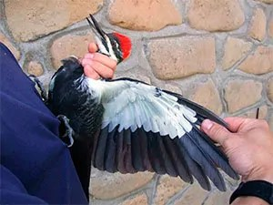 How to kill a woodpecker