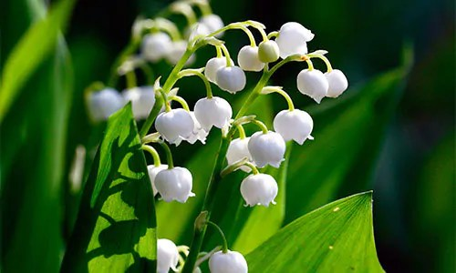 Lily-of-the-valley for deer away