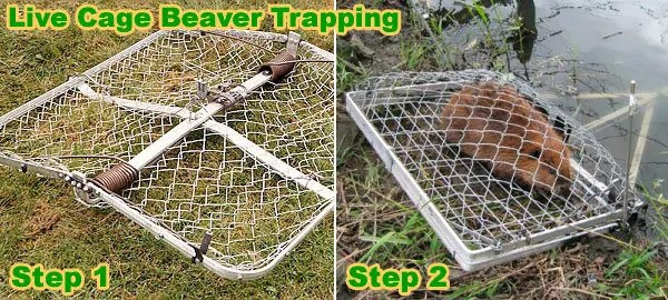 Live cage beaver trapping