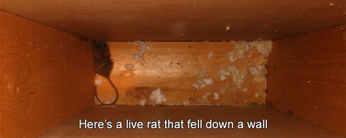 Here's a live rat that fell down a wall