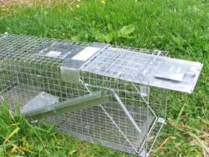 LIve traps to catch a possum