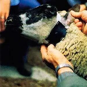 Livestock protection collar