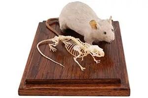 Backbone of mice