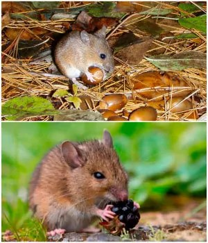 Field mice food