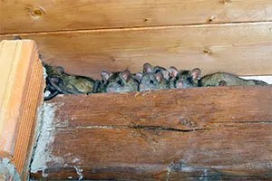 Mice in attic