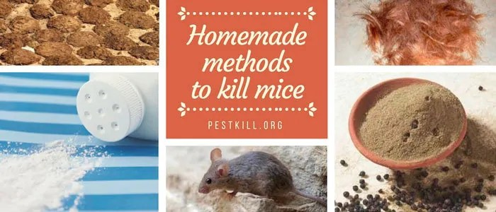 Infographic: Homemade methods to kill mice