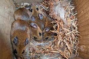 Mice nest