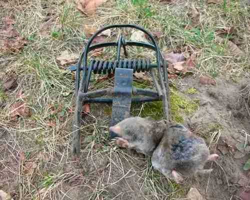 Catched mole in O'Sight trap