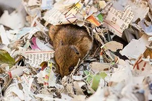 Mouse in the shredded paper