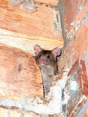 get rid of mice in walls naturally catching mice is one of the best methods to get rid in walls apart from scaring away rodents predators act vital role catching how get rid mice walls tested and proven methods