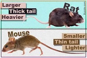 Mouse vs Rat