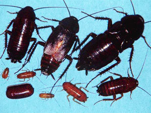 Oriental cockroaches