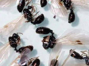 Pavement ant swarmers