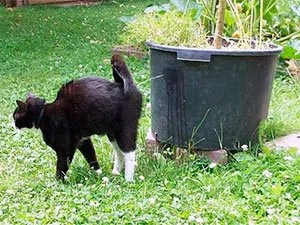 Pooping cat
