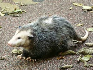 Possums removal process
