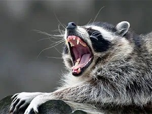 Do raccoons carry rabies