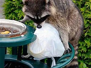 Raccoons keep off
