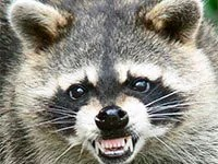 Raccoon rabies