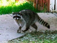 Raccoons repellents and deterrents