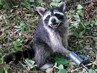 Raccoons eliminating