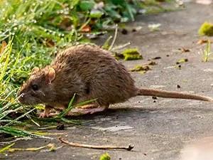 Rat in the garden