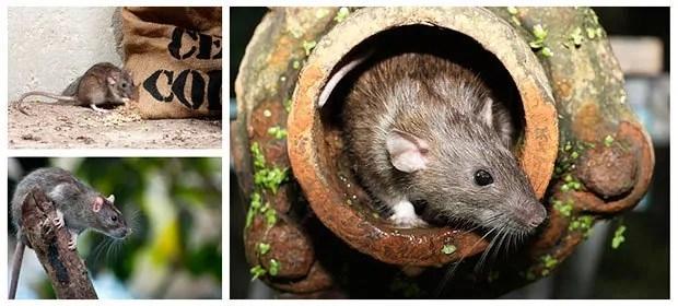 Identificate rats