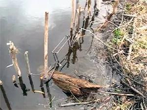 How to set beaver trap