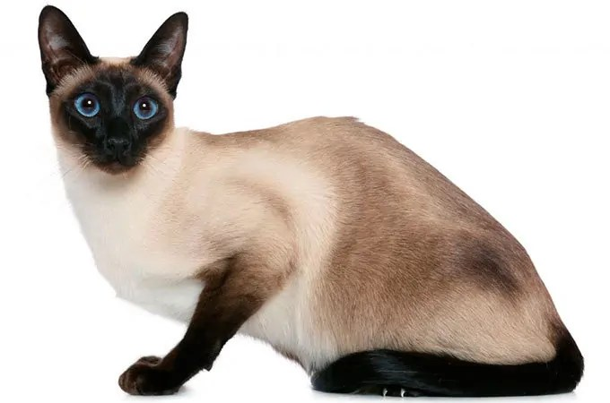 Siamese breed