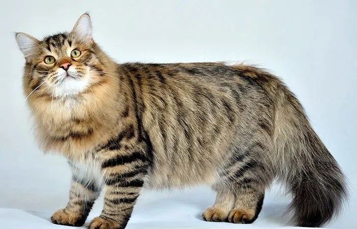 Siberian breed