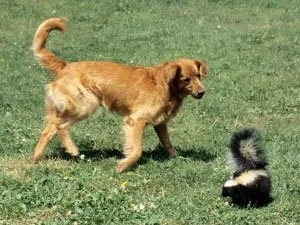 How to Get Rid of Skunk Smell: Helpful Tips for Skunk Spray