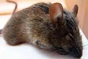 Sleeping mouse