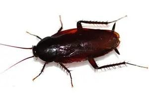 Smokybrown cockroaches