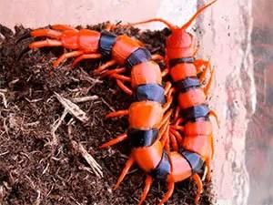 Tiger Centipede