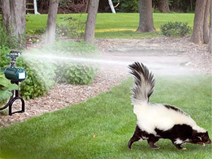 Skunks control methods: place motion activated sprinkles