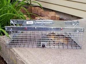 Chipmunks trapping - the bestcontrol method