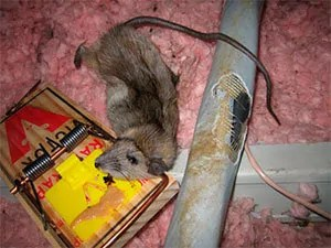 Trapping rat