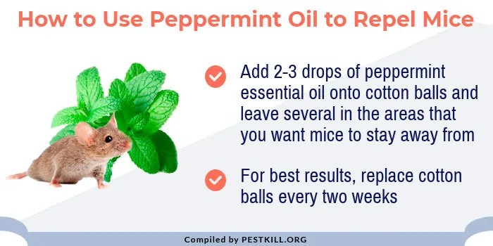 Infographic: Using peppermint oil for mice