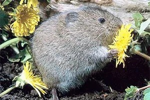 Vole in the flower bed
