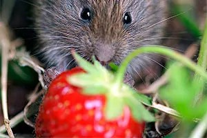 Vole and strawberry