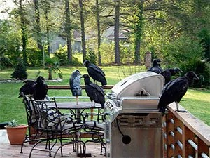 Turkey vultures in your yard
