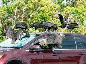 Vultures attack your car